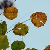 Piękny żółty drzewny liść zdjęcia stock