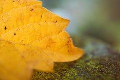 Piękny żółty drzewny liść obraz stock