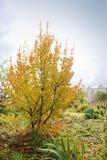 Piękny żółty drzewo Jesień zdjęcie royalty free