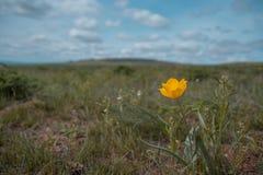 Piękny żółty dziki tulipan w stepie Fotografia Stock