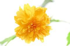 Piękny żółty dziki wzrastał. Closeup.Isolated. Zdjęcie Royalty Free