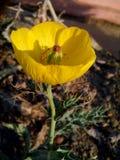 Piękny żółty fliwer zdjęcia royalty free