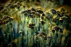 Piękny żółty imortelle kwitnie w kwiacie Zdjęcie Stock