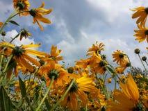 Piękny żółty Jerusalem karczoch kwitnie i błękitny chmurny niebo Zdjęcia Stock