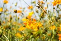 Piękny żółty kosmosów kwiatów ogród w polu Fotografia Royalty Free
