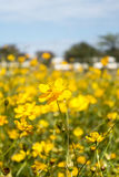 Piękny żółty kosmosów kwiatów ogród w polu Zdjęcia Royalty Free