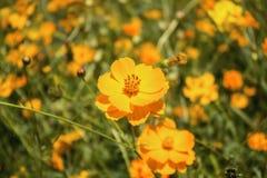 Piękny żółty kosmosów kwiatów ogród w polu Fotografia Stock
