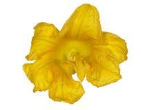 Piękny żółty kwiat bania, odizolowywający na białym tle Zdjęcie Royalty Free