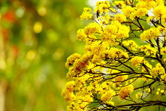 Piękny żółty kwiat na plamy natury wiosny tle Obraz Royalty Free