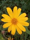 Piękny żółty kwiat Thailand Zdjęcia Royalty Free
