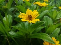 Piękny żółty kwiat w Srilanka Fotografia Royalty Free