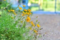 Piękny żółty kwiat w Tajlandia Asia Obraz Royalty Free