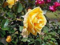 Piękny żółty kwiat zakrywający z wodnymi kropelkami z liśćmi w tle Zdjęcie Royalty Free