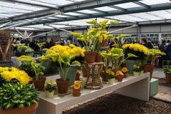 Piękny żółty kwiatu dorośnięcie w kwiatu parku Zdjęcia Royalty Free