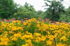 Piękny żółty kwiatu pole Obraz Stock