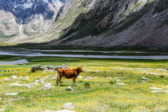 Piękny żółty kwiatu pole, krowa z niebieskim niebem Zdjęcia Royalty Free