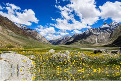 Piękny żółty kwiatu pole z niebieskim niebem i chmurą, Kaszmir, Obraz Royalty Free