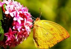 Piękny Żółty motyl na menchia kwiacie Zdjęcie Stock