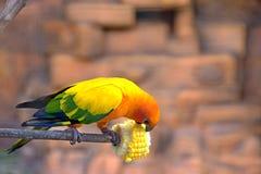Piękny żółty papuzi obsiadanie na gałąź obrazy stock