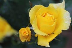 Piękny żółty pomarańcze róży kwiat w ogródzie Zdjęcia Royalty Free