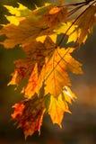 Piękny żółty pomarańczowej czerwieni jesieni liści tło Fotografia Royalty Free