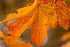 Piękny żółty pomarańczowej czerwieni jesieni liści tło Obraz Stock
