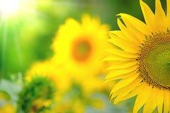 Piękny żółty słonecznik dla ranku wschód słońca fotografia royalty free