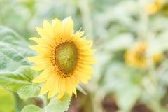 Piękny żółty słonecznik na zielonym tle obrazy royalty free