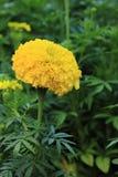 Piękny żółty Tagete Erecta Zdjęcie Stock