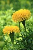 Piękny żółty Tagete Erecta Obrazy Royalty Free