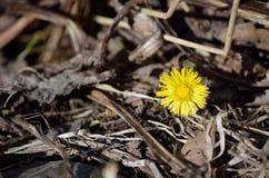 Piękny żółty wildflower w wczesnej jesieni zdjęcia royalty free
