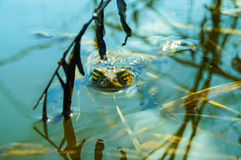Piękny żaby oko Zdjęcie Stock