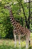 Piękny żyrafy łasowanie od drzewa Obrazy Stock