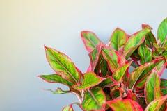 Piękny Aglaonema genus kwiatonośne rośliny w aronie Fotografia Stock