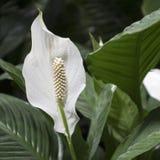Piękny Aglaonema w ogródzie Selekcyjna ostrość Obraz Royalty Free