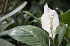 Piękny Aglaonema w ogródzie Selekcyjna ostrość Zdjęcie Royalty Free