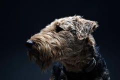 Piękny Airdale Terrier w studiu z ciemnym tłem Zdjęcia Stock