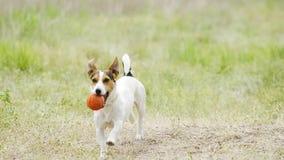 Piękny aktywnego pies Jack Russell Terrier traken biega na kamerze zdjęcie wideo
