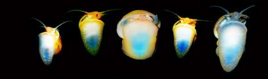 Piękny akwarium ślimaczek Ampularia Błonia imię jabłczani ślimaczki, Zdjęcia Stock