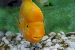 Piękny akwarium ryba Amphilophus citrinellus Obraz Royalty Free