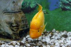 Piękny akwarium ryba Amphilophus citrinellus Zdjęcia Royalty Free
