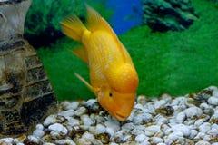 Piękny akwarium ryba Amphilophus citrinellus Zdjęcie Royalty Free
