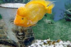 Piękny akwarium ryba Amphilophus citrinellus Obraz Stock