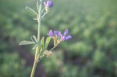 Piękny alfalfa pole Kwiatu szczegół Zdjęcie Royalty Free