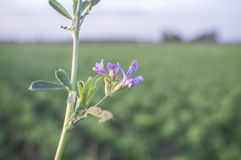 Piękny alfalfa pole Kwiatu szczegół Obrazy Stock