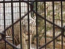 piękny amerykański biały tygrys w zoo obraz royalty free