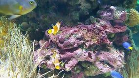 Piękny anemon i ryba - błaznuje na rafie koralowej zdjęcie wideo