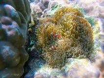 Piękny anemon w pikowanie punktu Surin wyspie fotografia royalty free