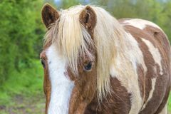 Piękny appaloosa konia zakończenie up Obraz Royalty Free
