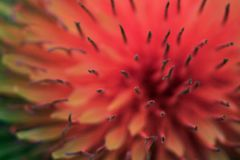 Piękny artystyczny dandelion w kolorze żywy koral obraz royalty free